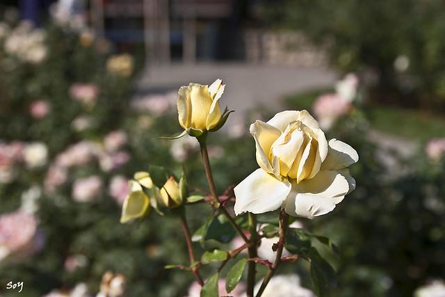 Composición con rosas...