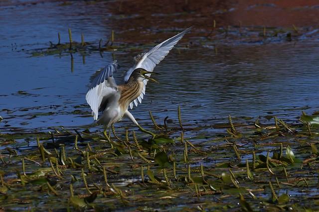 Crabier chevelu - Ardeola ralloides - Squacco heron