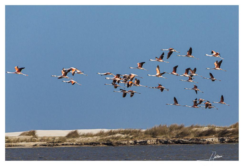 Flamingos na Lagoa do Peixe