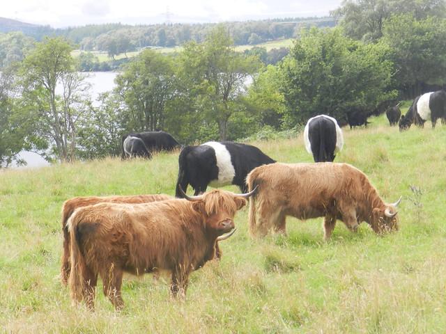 Friendly Cows near Loch Duntelchaig, Aug 2019