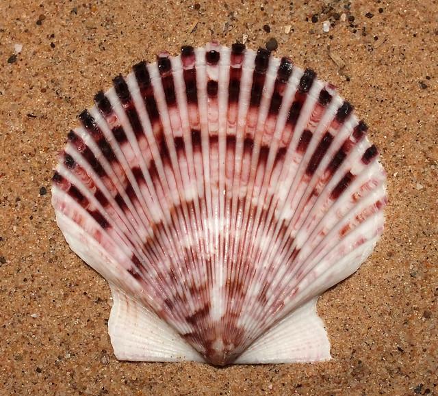 Purplish scallop (Argopecten purpuratus)