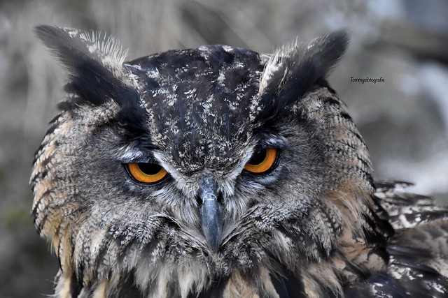 What a eyes has this owl, full of fire. Photo taken in Hrad Trosky castle in Bohemia