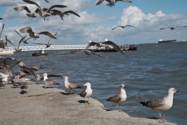 Lisbonne2019-Goeland-Gull