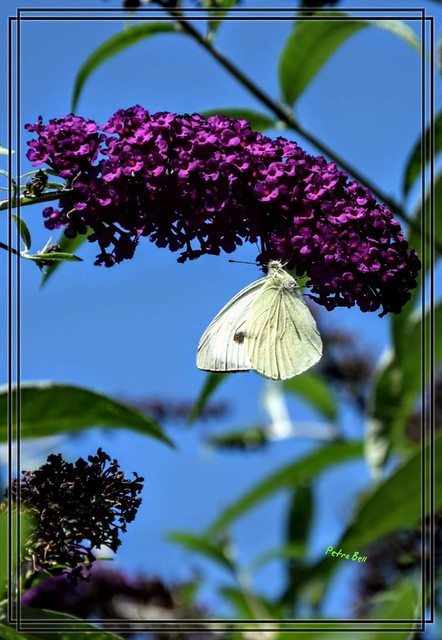 Cabbage white on the lilac