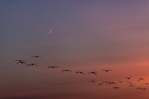 moon crescent canada geese skein sunset birds flight goose