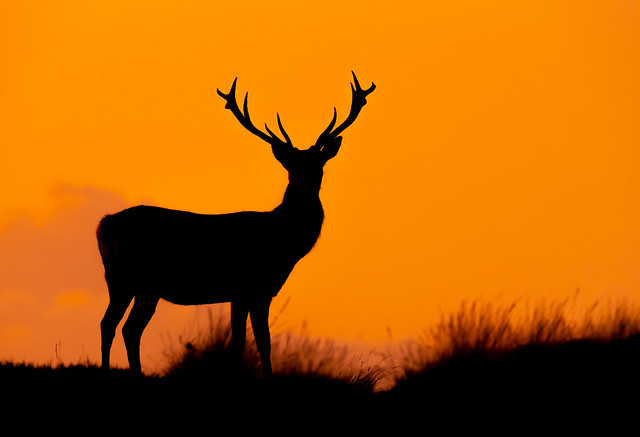 Red Deer stag after sunset