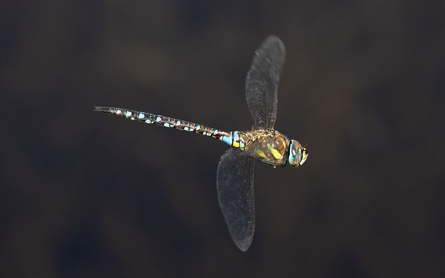 Migrant hawker m in flight