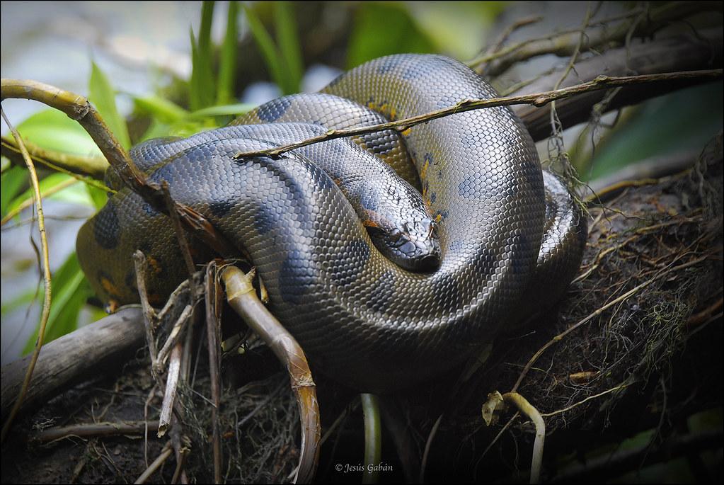 Anaconda (Eunectes murinus)