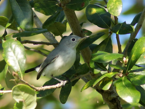 Blue-gray Gnatcatcher 02-20190909