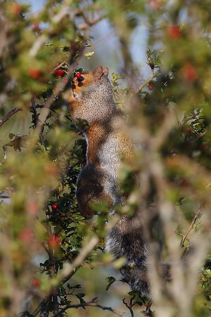 Grey Squirrel eating Hawthorn