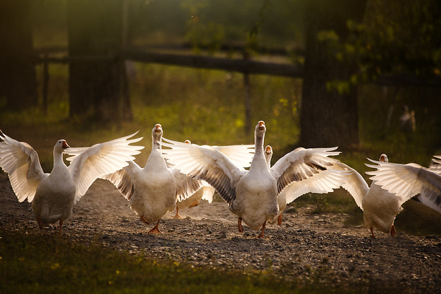the gooses ballet