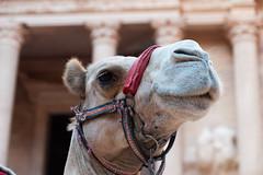 Camel in Jordan