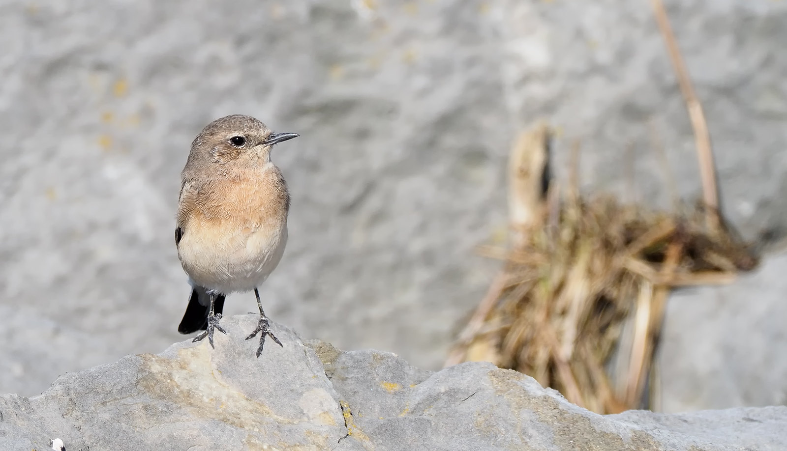 Pied / Eastern Black-eared Wheatear