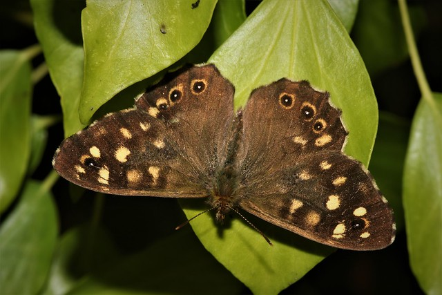 Speckled Wood (Explored)