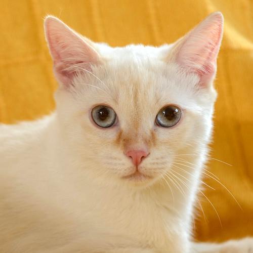 Karnak, gatito siamés Red Point locuelo y dulzón esterilizado, nacido en Marzo´19, en adopción. Valencia. 48708250411_f152e6b6f2