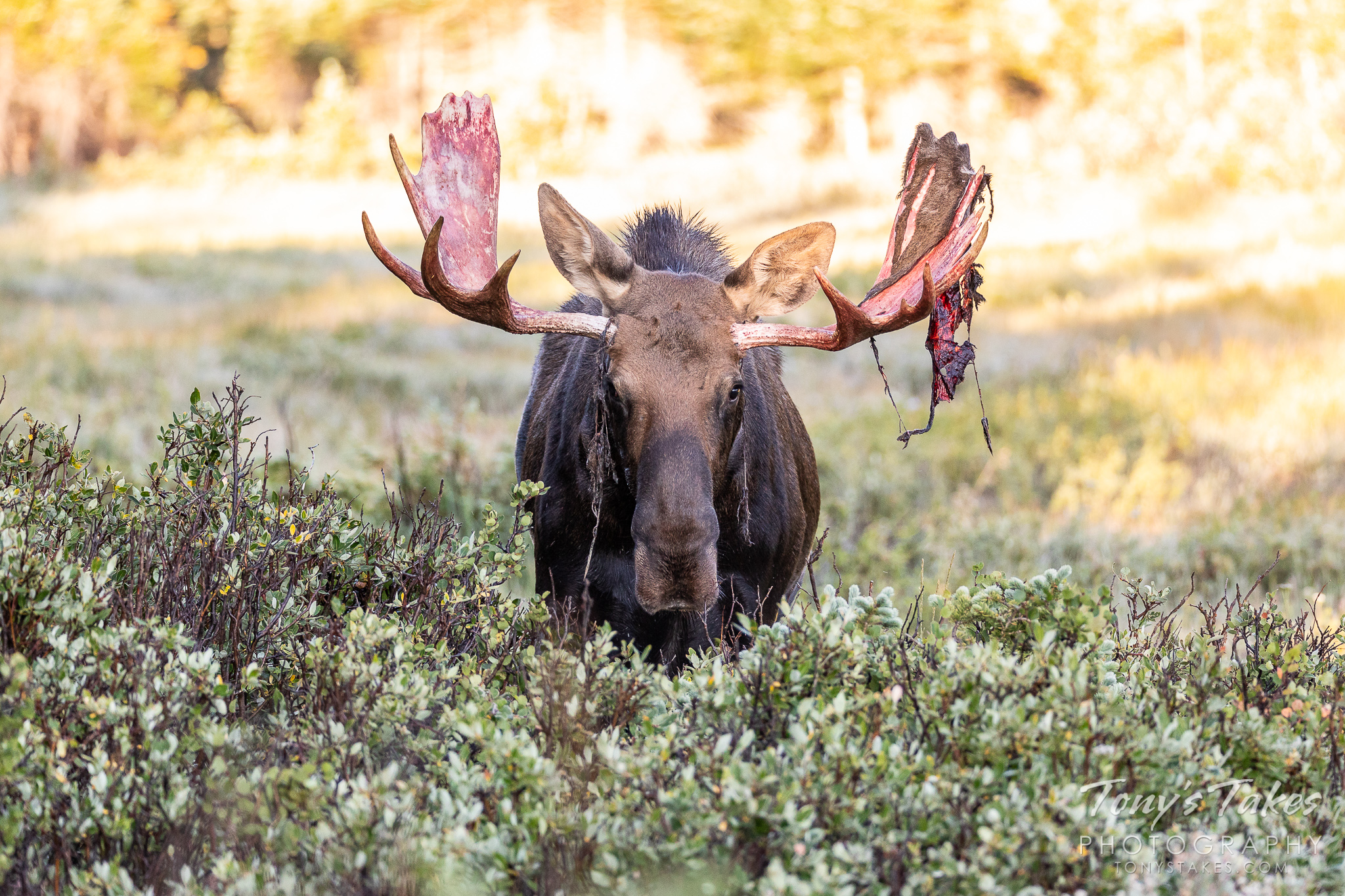 A moose bull head on with the remnants of velvet on its antlers. (© Tony's Takes)