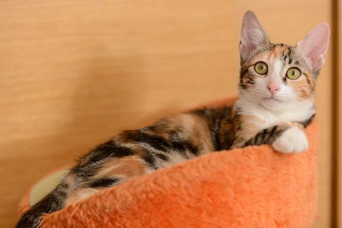 Rinah, gatita tricolor Calicó guapa y divertida esterilizada, nacida en Mayo´19, en adopción. Valencia. 48708321861_3346ce3b0d