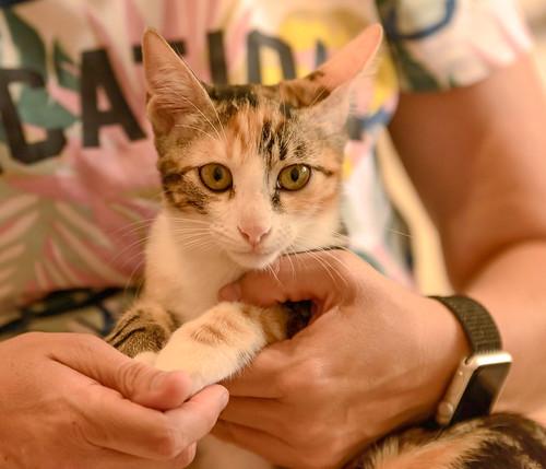 Rinah, gatita tricolor Calicó guapa y divertida esterilizada, nacida en Mayo´19, en adopción. Valencia. 48708323386_58e2afd7d9