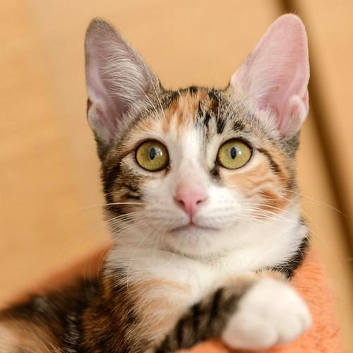 Rinah, gatita tricolor Calicó guapa y divertida esterilizada, nacida en Mayo´19, en adopción. Valencia. 48708323541_5ab4016216