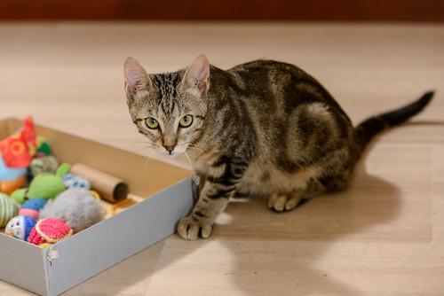 Virgo, ronroneador y guapo gatito pardo Tabby esterilizado, nacido en Mayo´19, en adopción. Valencia. 48708353786_44270c692f