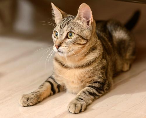 Virgo, ronroneador y guapo gatito pardo Tabby esterilizado, nacido en Mayo´19, en adopción. Valencia. 48708354191_6900c1e059