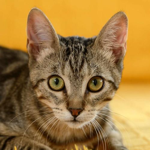 Virgo, ronroneador y guapo gatito pardo Tabby esterilizado, nacido en Mayo´19, en adopción. Valencia. 48708355746_d719c51a1f