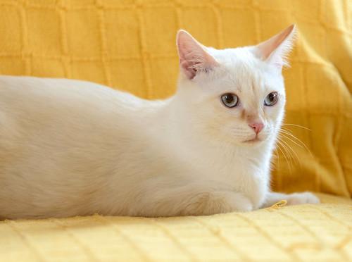 Karnak, gatito siamés Red Point locuelo y dulzón esterilizado, nacido en Marzo´19, en adopción. Valencia. 48708408327_33666482cf