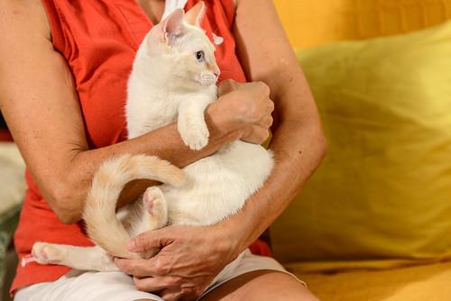 Karnak, gatito siamés Red Point locuelo y dulzón esterilizado, nacido en Marzo´19, en adopción. Valencia. 48708408832_bb1db5215b