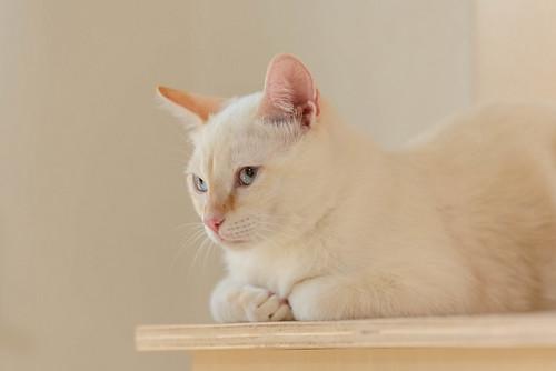 Karnak, gatito siamés Red Point locuelo y dulzón esterilizado, nacido en Marzo´19, en adopción. Valencia. 48708410202_9b63a55cb0