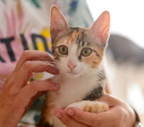 Rinah, gatita tricolor Calicó guapa y divertida esterilizada, nacida en Mayo´19, en adopción. Valencia. 48708483082_e7aa3b72bf