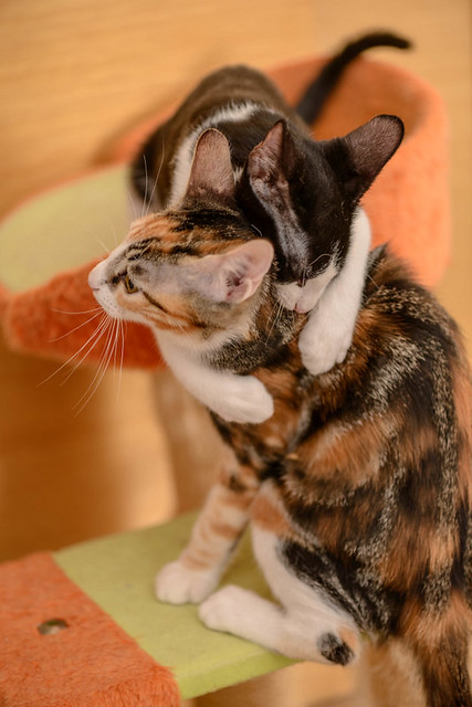 Rinah, gatita tricolor Calicó guapa y divertida esterilizada, nacida en Mayo´19, en adopción. Valencia. 48708483477_360803b78c_z