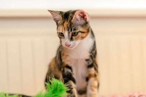 Rinah, gatita tricolor Calicó guapa y divertida esterilizada, nacida en Mayo´19, en adopción. Valencia. 48708484077_656615b261