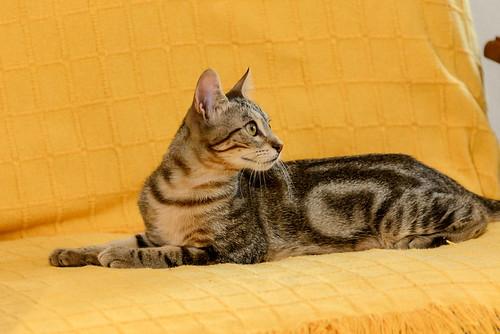 Virgo, ronroneador y guapo gatito pardo Tabby esterilizado, nacido en Mayo´19, en adopción. Valencia. 48708515697_276ea7c082