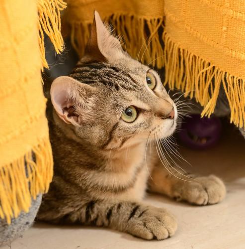 Virgo, ronroneador y guapo gatito pardo Tabby esterilizado, nacido en Mayo´19, en adopción. Valencia. 48708516077_48c9ffc8d6