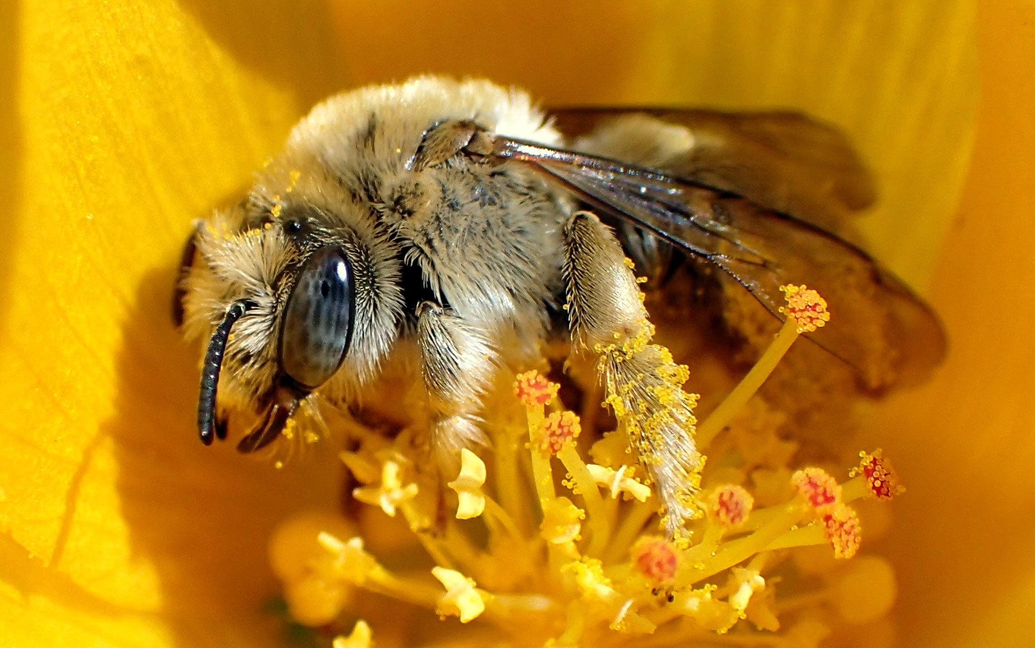 Chimney Bee (Diadasia sp)
