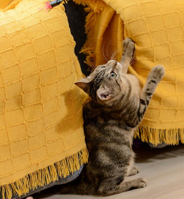 Virgo, ronroneador y guapo gatito pardo Tabby esterilizado, nacido en Mayo´19, en adopción. Valencia. 48708516322_36127b084d_z