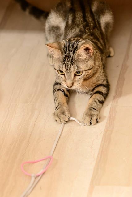 Virgo, ronroneador y guapo gatito pardo Tabby esterilizado, nacido en Mayo´19, en adopción. Valencia. 48708516627_0c2274b7a7_z