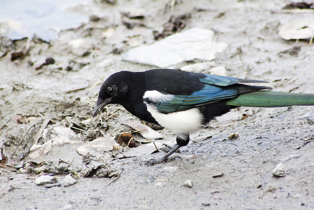 Black-billed magpie, Pica hudsonia