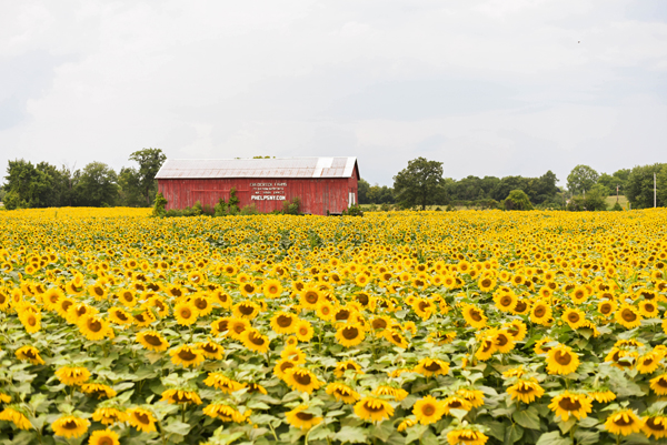 frederick farms sunflowers phelps ny