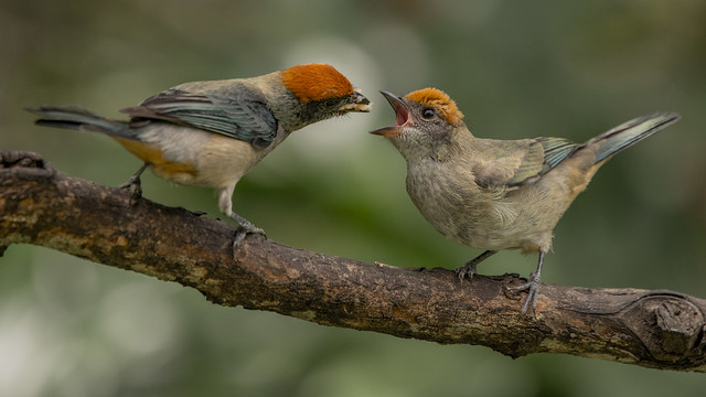 Tangara vitriolina mom feeding baby