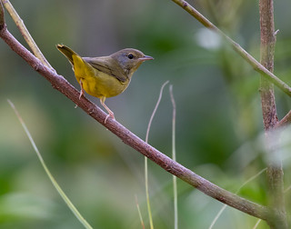 Mourning Warbler (Immature)