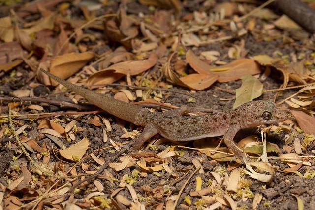 Gecko sp. (Need ID)