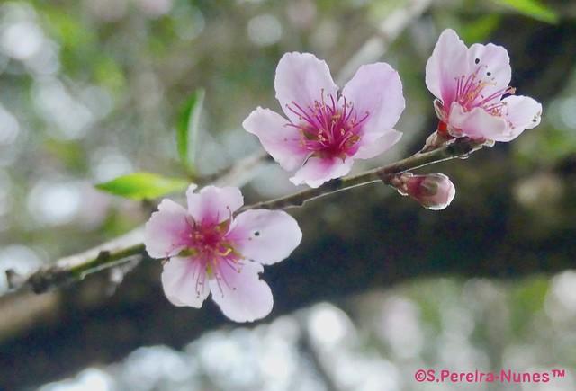 Sakura Cherry Blossoms, A detail,  Forest Hills, Brazil