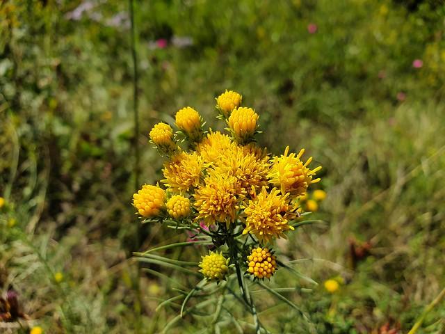 Fiore di prato/ astro spillo d' oro