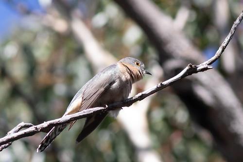 Fantail Cuckoo (Cacomantis flabelliformis)