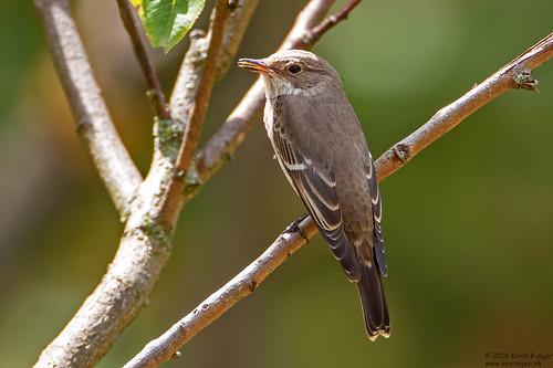 Spotted Flycatcher, Muscicapa striata
