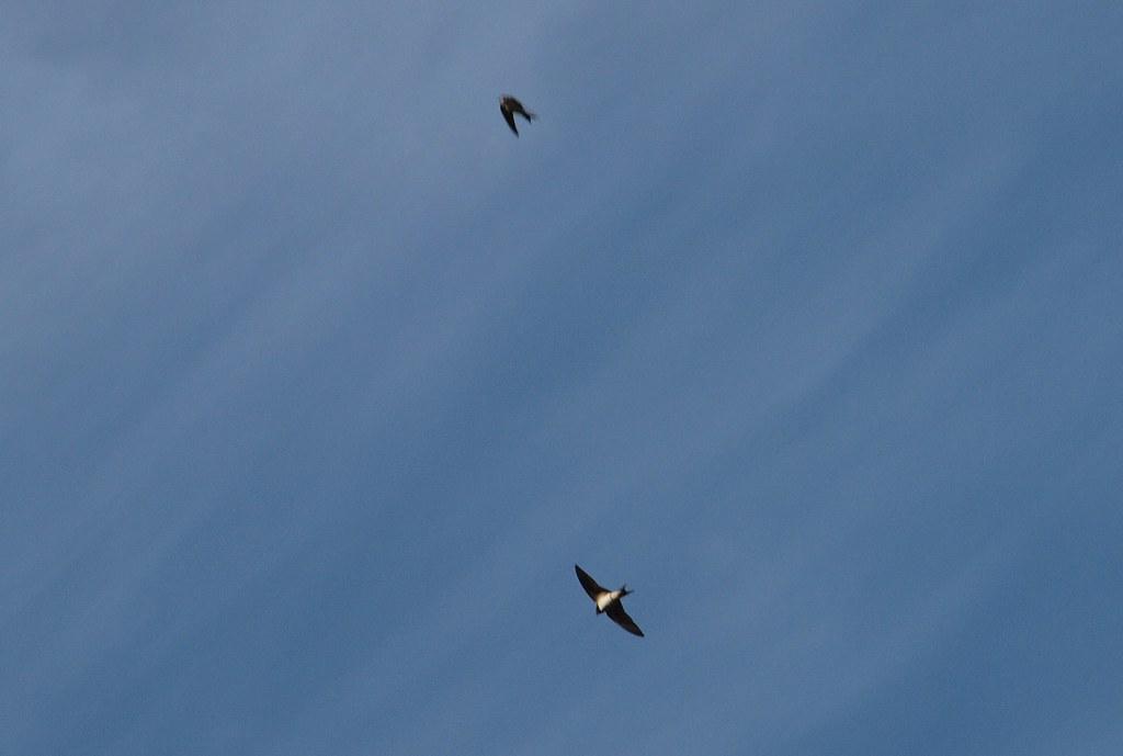 2 Flugbilder Schwalben