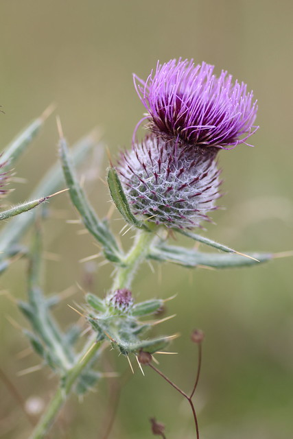 Spear thistle flower