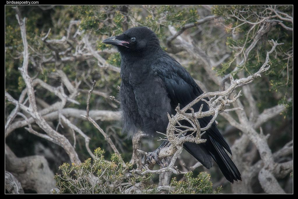 A little Little Raven