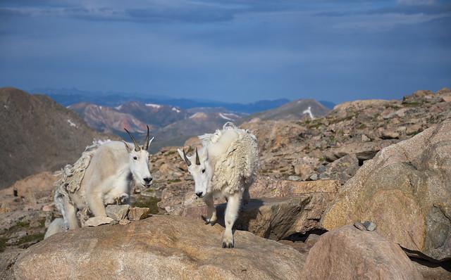 Mountain goat Habitat